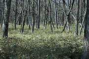 treetrunks in woods with dense Kumazasa undergrowth Japan