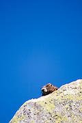 A hoary marmot (Marmota caligata) peeks out from behind a boulder in Glacier Peak Wilderness, Washington.