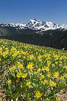 Mount Shuksan with meadows of Glacier Lillies (Erythronium grandiflorum) on Skyline Divide, Mount Baker Wilderness Washington