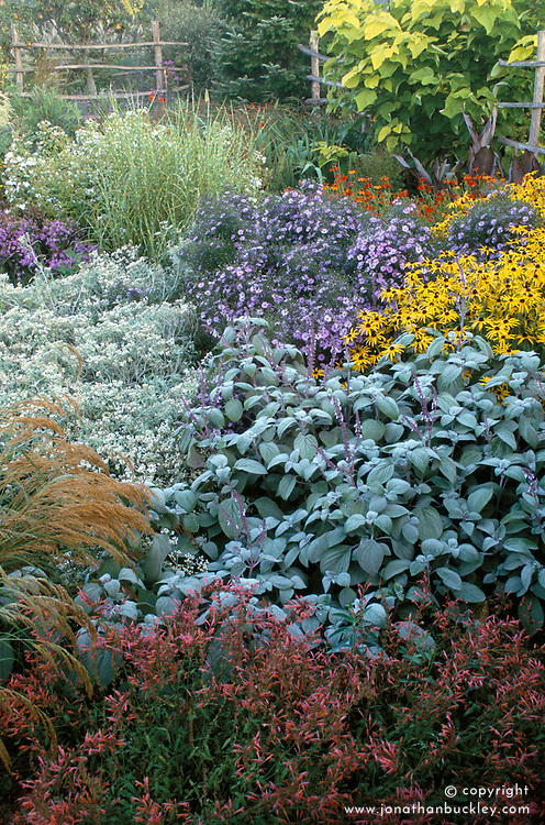 Plectranthus argentatus, Anaphalis margaritacea (A.yedoensis) Aster 'Little Carlow', Rudbeckia fulgida deamii and Miscanthus sinensis 'Strictus' in the high garden at Great Dixter in autumn
