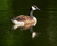 Canada Goose. Image taken with a Nikon D3 camera and 80-400 mm lens.