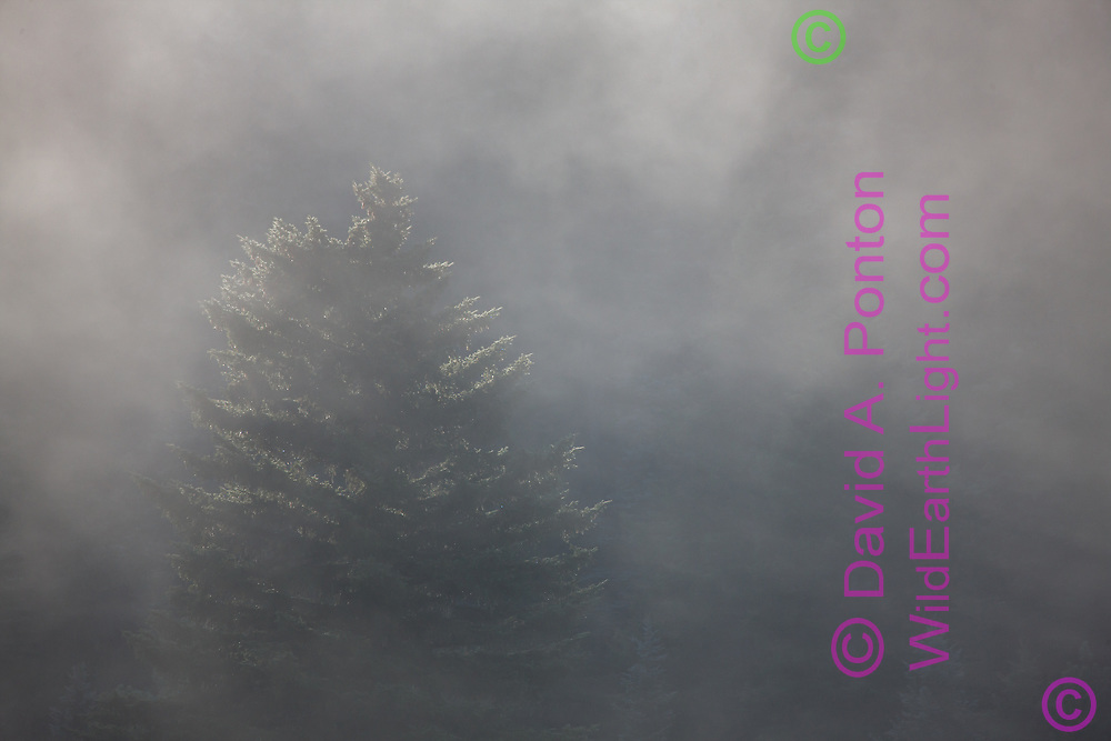 Blue spruce tree emerges from fog in evergreen forest in early morning, south side of the Valle Grande, Valles Caldera National Peserve, © David A. Ponton
