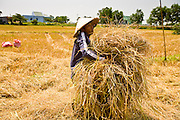 10 MARCH 2006 - TAY NINH, VIETNAM: A peasant collects rice hay in a field in Tay Ninh province, Vietnam. The rice was harvested months ago and now peasants are coming back to the field to look for rice and rice hay they could sell for extra money for their families.  Photo by Jack Kurtz