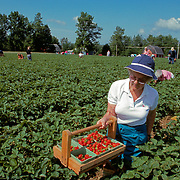 """Picking tomatoes on a """"pick your own"""" farm in Maine"""