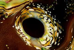 Tridacna sp., Detail, Ausstroemoeffnung von Moerdermuschel, Riesenmuschel, Giant clam siphon, detail, Safaga, Rotes Meer, Ägypten, Red Sea Egypt
