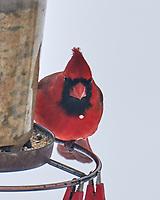 Northern Cardinal (Cardinalis cardinalis). Image taken with a Leica SL2 camera and 90-280 mm lens.