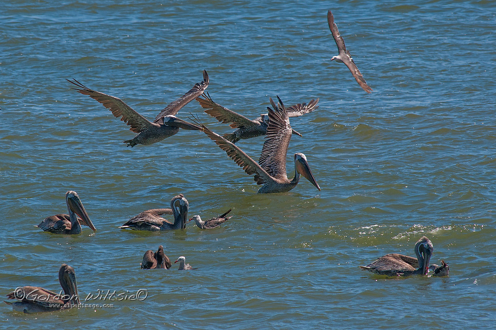 Brown pelicans (Pelecanus occidentalis) hunt for fish, which they catch by diving into the water head first - often from high above the water - stunning their prey and then scooping it up in their huge bills. Many of the gulls that fly or swim beside them are trying to steal part of their catch, a behavior called kleptoparasitism.