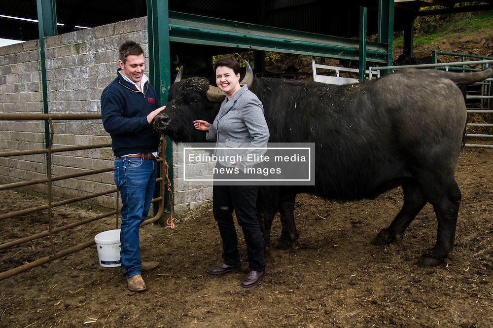 Pictured: Buffalo Farm owner Steve Mitchell introduces Ruth Davidson his pet bullock, 007<br /> <br /> The Scottish Conservative leader Ruth Davidson visited the Bufallo Farm in Fife today where she toured the facility and met  staff and the animals. She even took a ride on the friendly bullock, 007.<br /> <br /> Ger Harley | EEm 20 April 2016