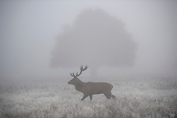 © Licensed to London News Pictures. 08/11/2019. London, UK. A deer stag grazing in a frost covered landscape at Richmond Park in west London on a bright Autumn morning. Parts of the north of England have experienced severe flooding following torrential rainfall. Photo credit: Ben Cawthra/LNP