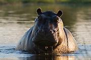 Portrait of an aggressive hippopotamus, Hippopotamus amphibius, in the water.