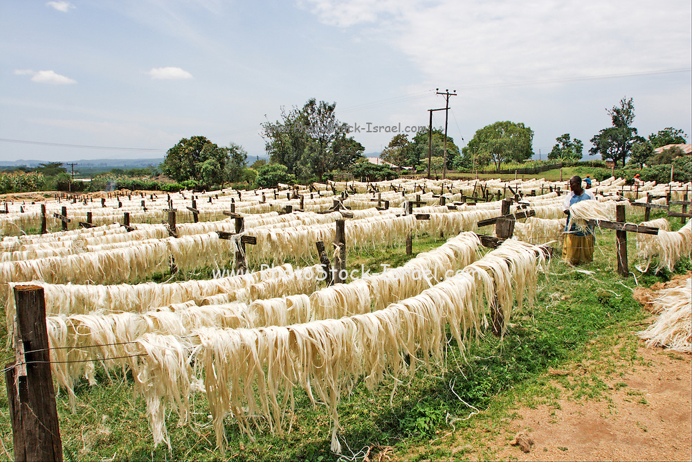 Sisal (Agave sisalana) drying. This fiber is used for the manufacturing of rope. Photographed in Kenya