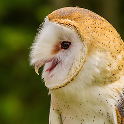 Barn Owl, Tyto alba, at Vermont Institute of Natural Sciences in Quechee, Vermont. (Captive)