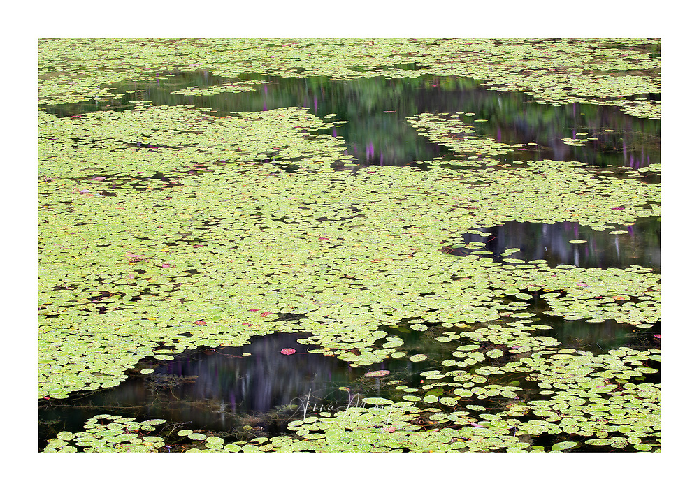lake filled with lily pads and amphibian
