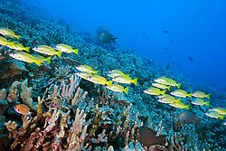 Schooling Bluestripe Snappers, Lutjanus kasmira, over coral reef, off Kona Coast, Big Island, Hawaii, Pacific Ocean