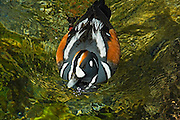 Harlequin duck (Histrionicus histrionicus) in Maligne River<br /> Jasper National Park<br /> Alberta<br /> Canada