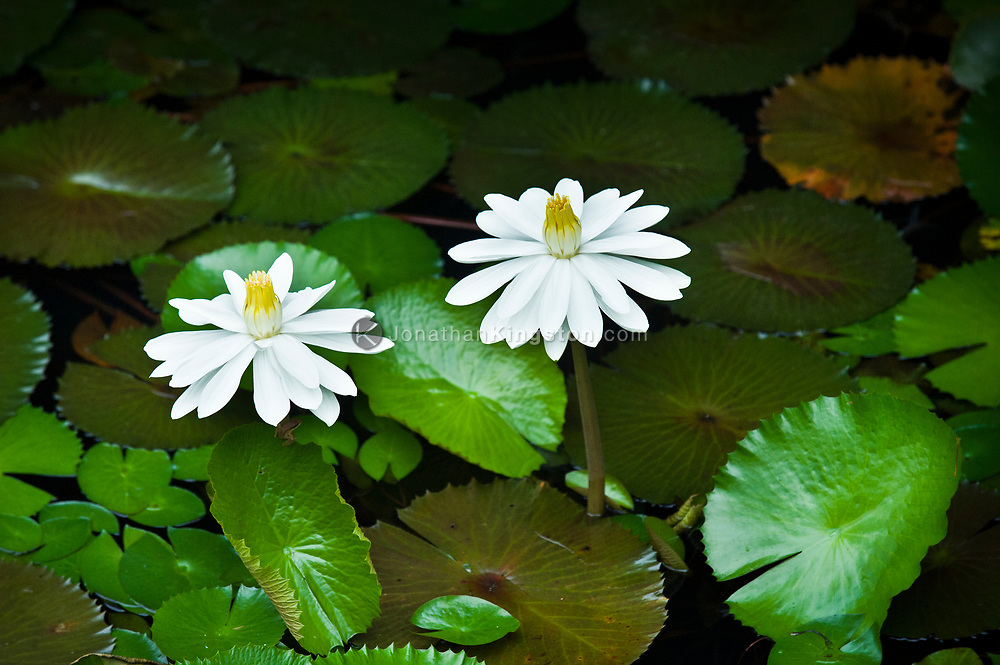 White lotus flowers and green leaves in a pond of water in Yangshuo, China.