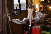 "Hanging goose at Sarah Leggitt's Lochbuie estate cottage, a former Smithy with livestock on the Isle of Mull, Scotland. Hanging upside down, the goose has recently been killed for the family to eat in a day or two. Its feathers have been plucked from its body leaving only the wings. Sarah and her husband moved from southern England 6 years ago to work for the Lochbuie Estate and the old Smithy is provided to them as living accommodation. Lochbuie is a settlement on the island of Mull in Scotland about 22 kilometres (14 mi) west of Craignure. The name is from the Scottish Gaelic Locha Buidhe, meaning ""yellow loch"". http://lochbuie.com/Lochbuie"