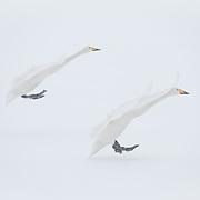 Whopper swan in flight. Lake Kussharo, Hokkaido, Japan