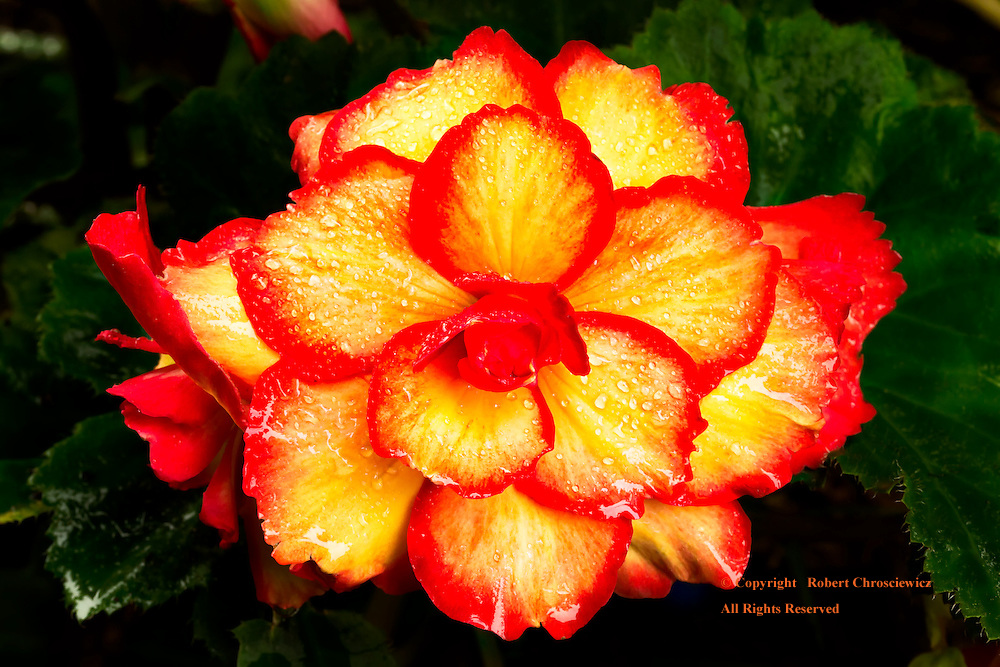 Beautiful Begonia: A macro view of a blooming, lusciously red and yellow begonia, right after a rain fall in Minter Gardens, Rosedale British Columbia Canada.