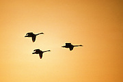 Tundra Swans coming in at sunset - Delaware