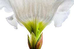 Beaumontia grandiflora, Easter Lily Vine#6