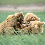 Alaskan Brown Bear, (Ursus middendorffi) Mother nursing cubs in grass. Katmai National Park. Alaska. June. Late Spring.