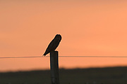 Short-eared owl, Asio flammeus, on fence post at sunset, Eday, Orkney, Orkney Isles.<br /> animal; animals; bird; birds; owls; nature; wildlife; adult;<br /> one; single; lone; alone; stood; standing; look; looking; watch; watching; rural; perch; perched; field; sunr