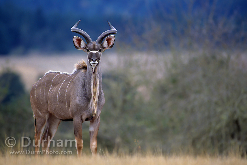 A greater kudu (Tragelaphus strepsiceros) young male. Native range: South and eastern africa, from Chad nearly to the Red Sea. Captive.
