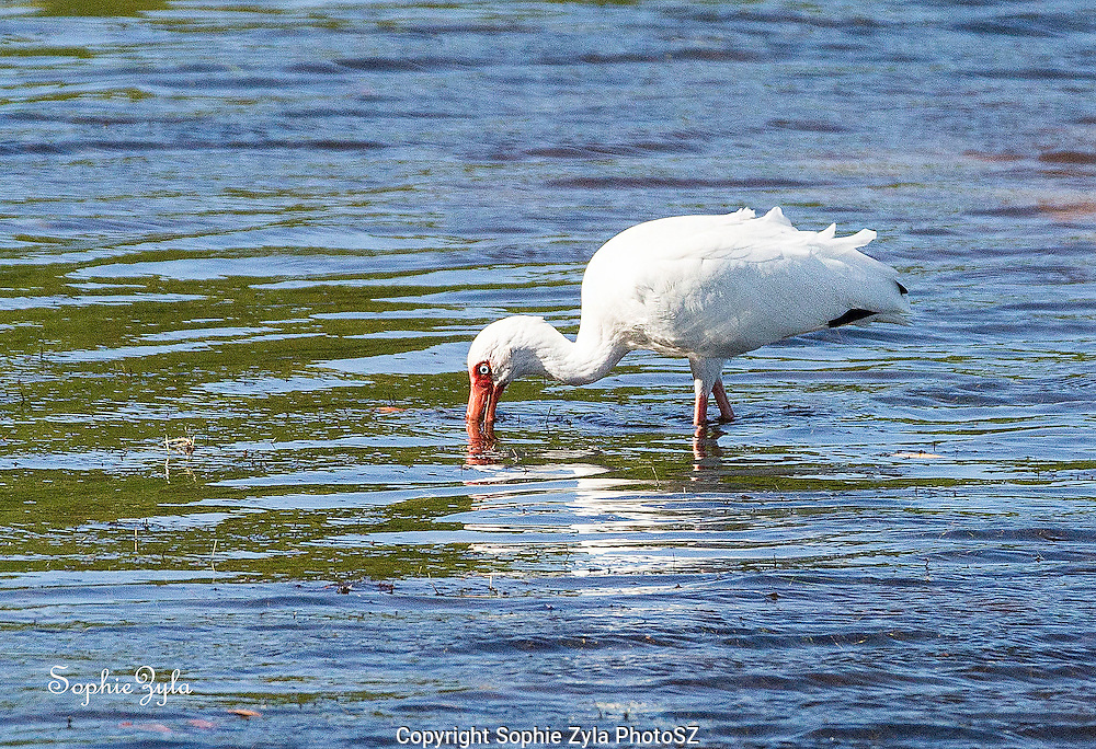 White Ibis after a snack