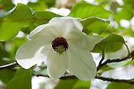 Magnolia sinensis;  RHS Rosemoor Garden, Great Torrington, Devon UK