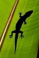 House Gecko, Hemidactylus frenatus