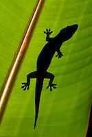 House gecko, Hemidactylus frenatus, on a banana leaf. Rancho Naturalista, Turrialba, Costa Rica