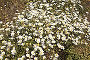 Argyranthemum frutescens marguerite  daisy flowers, Lanzarote, Canary Islands, Spain