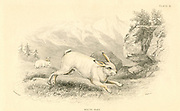 The Hare (Lepus europaeus).  In colder parts of its range this rodent develops a white winter coat as a camouflage in snowy regions.  From 'British Quadrupeds', W MacGillivray, (Edinburgh, 1828), one of the volumes in William Jardine's Naturalist's Library series. Hand-coloured engraving.