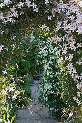 Clematis montana 'Elizabeth' with Clematis montana var. wilsonii  beyond in the cutting garden