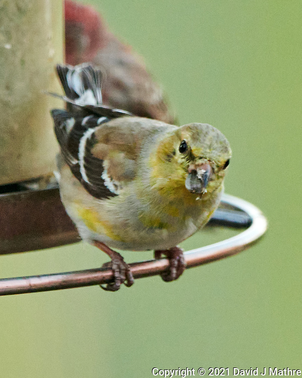 American Goldfinch (Spinus tristisr). Image taken with a Nikon 1 V3 camera and 70-300 mm VR lens.