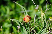 Wild mountain tulip (Tulipa agenensis) flower Photographed in Israel in spring in March