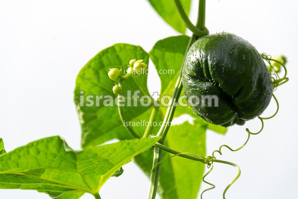 A chayote squash plant with its fruit and flower.  /  Una planta de chayote con su fruto y su flor.