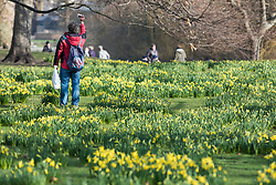 © Licensed to London News Pictures. 22/02/2018. London, UK. A man takes a photograph among blooming yellow daffodils in St James's Park, London, an early sign of Spring. Photo credit: Rob Pinney/LNP