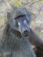 Adult baboon in  Kruger NP, South Africa