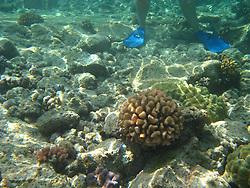 A snorkeler stands on the coral reef just off Kahaluu Beach Park in Keauhou on the Big Island of Hawaii. This photo is a good example of showing how snorkelers can inadvertently damage coral.