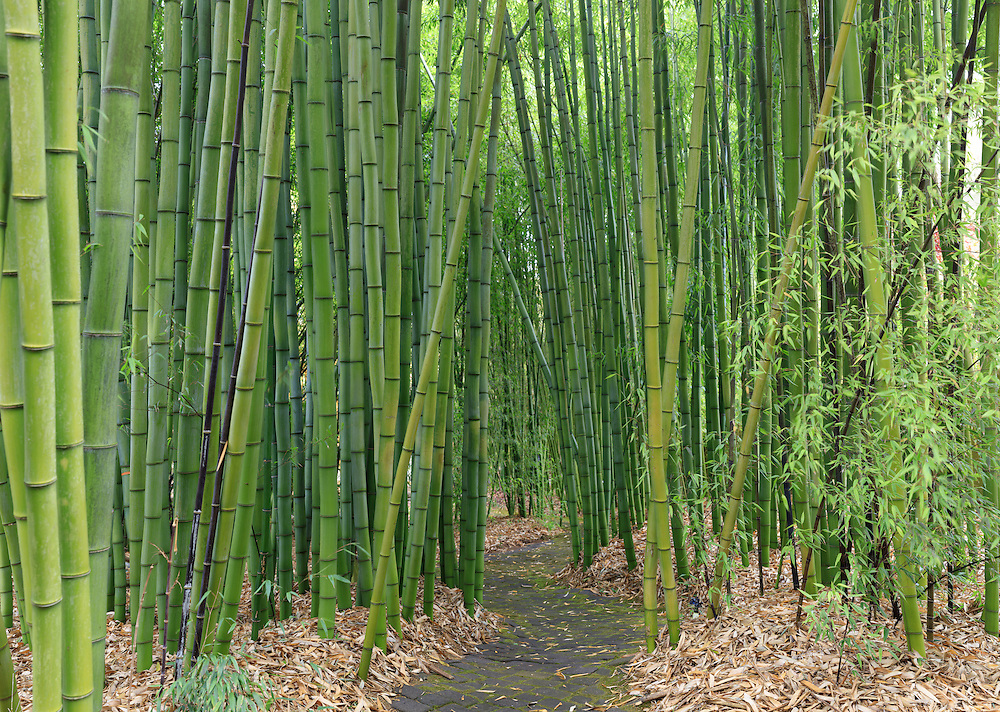 Bamboo Forest. (35737 x 25454 pixels)