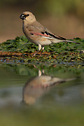 Desert Finch (Rhodospiza obsoleta Previously Carduelis obsoleta) near a puddle of water in the Negev desert, israel. The bird is indeed a desert resident in areas where water is readily available, but it can also be found in low mountains and foothills, and in cultivated valleys. It feeds on seeds and the occasional insect. Nesting occurs in trees in the spring, often in fruit trees in orchards, and the female lays and incubates 4 to 6 pale green, lightly speckled eggs.