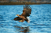 White tailed eagle diving just above the water to grab a fish from the surface Haliaeetus albicilla, Norway
