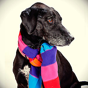 Female black lab waits to find new home at the Sacramento city animal shelter.