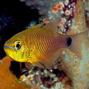 Orangelined Cardinalfish inhabit reefs. Picture taken Raja Ampat, Indonesia.