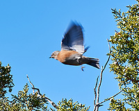 Western Bluebird (Sialia mexicana). Grand Canyon National Park, Arizona. Image taken with a Nikon D3s camera and 80-400 mm VRII lens.
