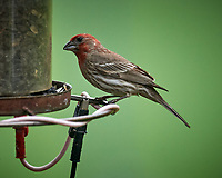 House Finch. Image taken with a Nikon D5 camera and 600 mm f/4 VR telephoto lens (ISO 1600, 600 mm, f/5.6, 1/500 sec).