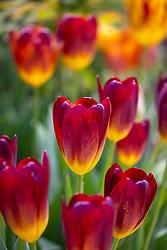 Tulipa 'Amber Glow'