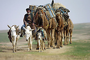 A Pashtu nomad travels with a camel caravan in Afghanistan's northern Faryab Province.